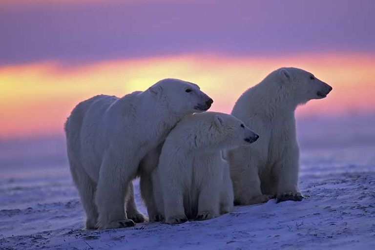 The study suggests that polar bears could disappear before the end of the century