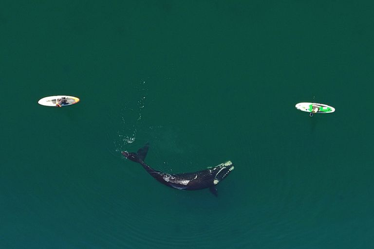Puerto Madryn: The rides on surfboards, along with whales on the coast of Puerto Madryn, are a spectacle that cannot be stopped these days.